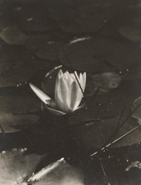 Water Lily, Woods Hole, Cape Cod