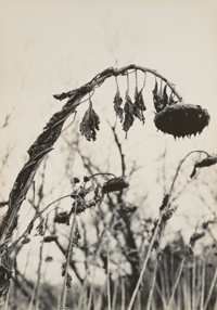 Untitled (Sunflowers)