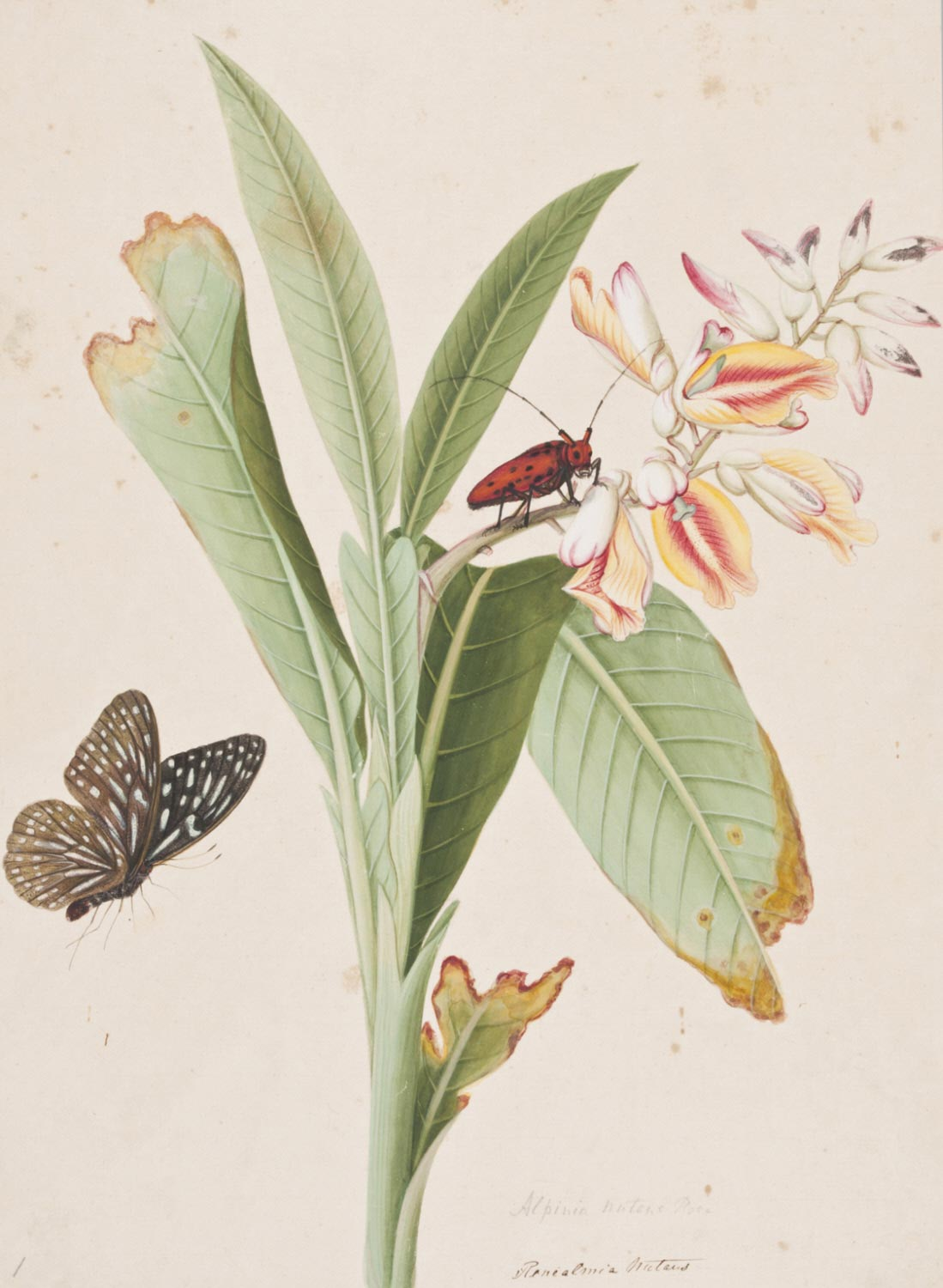 Alpinia Nutans and Insects
