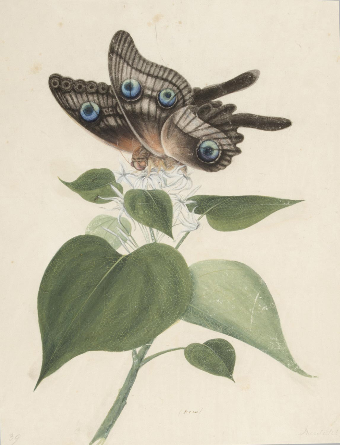 Botanical Subject and Butterfly