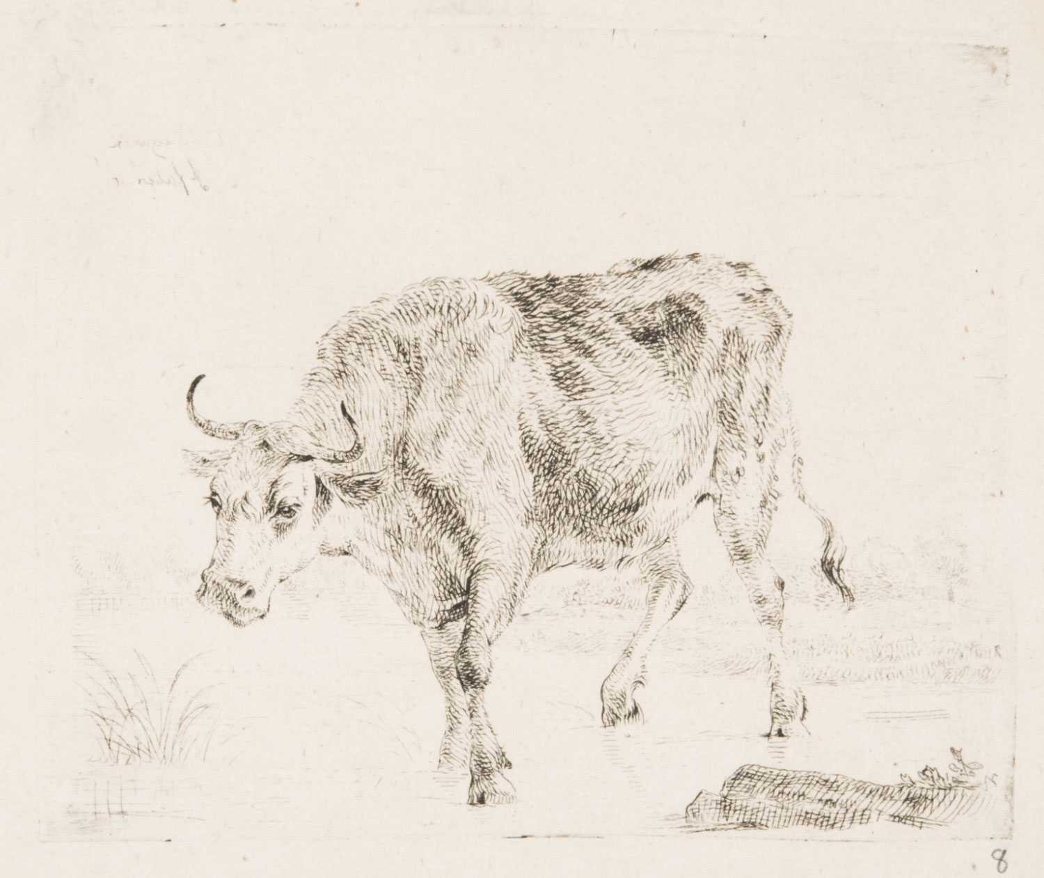 A Cow Walking in Shallow Water