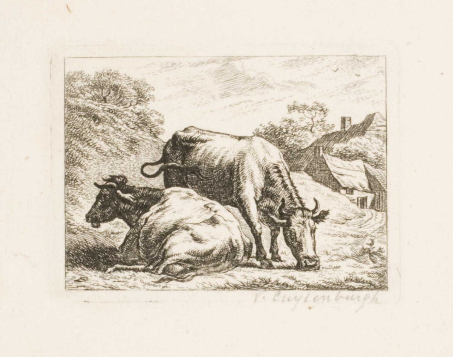 A Cow Standing and Eating Behind a Recumbent Cow