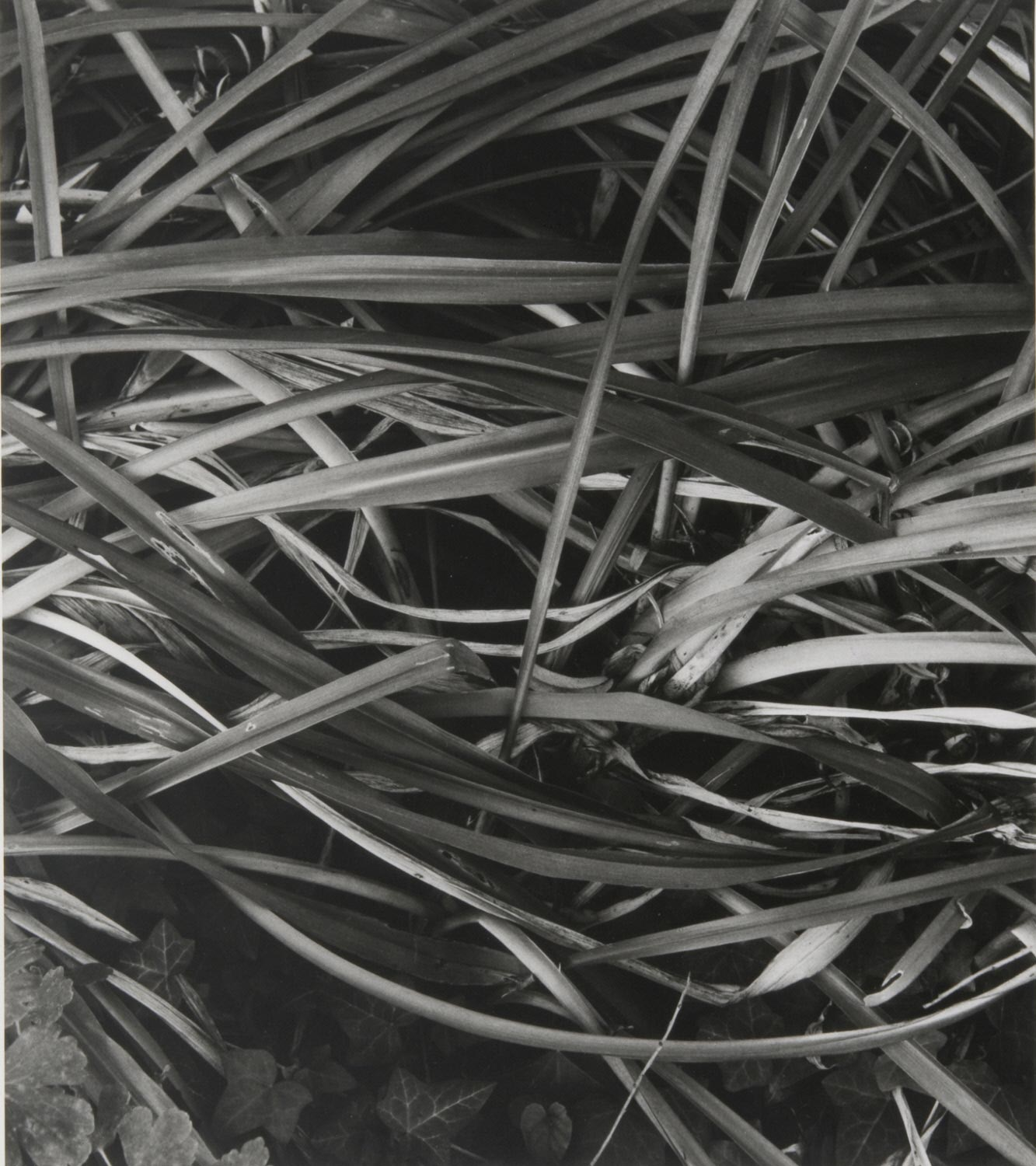 Lily Leaves, Winter, Orgeval