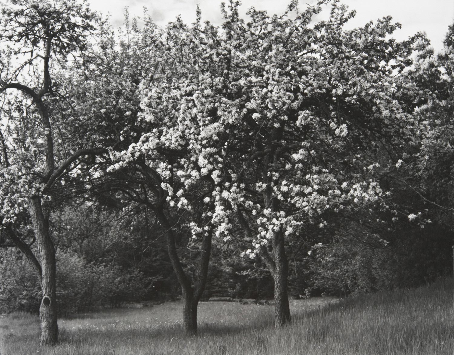 Apple Orchard in Bloom, Maine