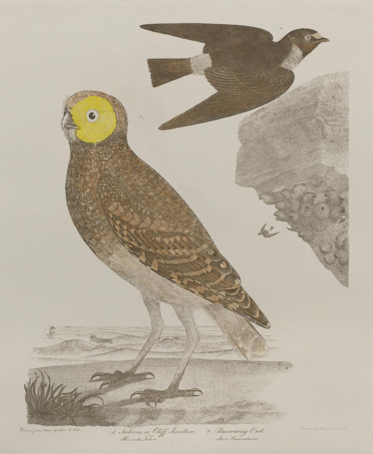 Fulvous or Cliff Swallow, Burrowing Owl