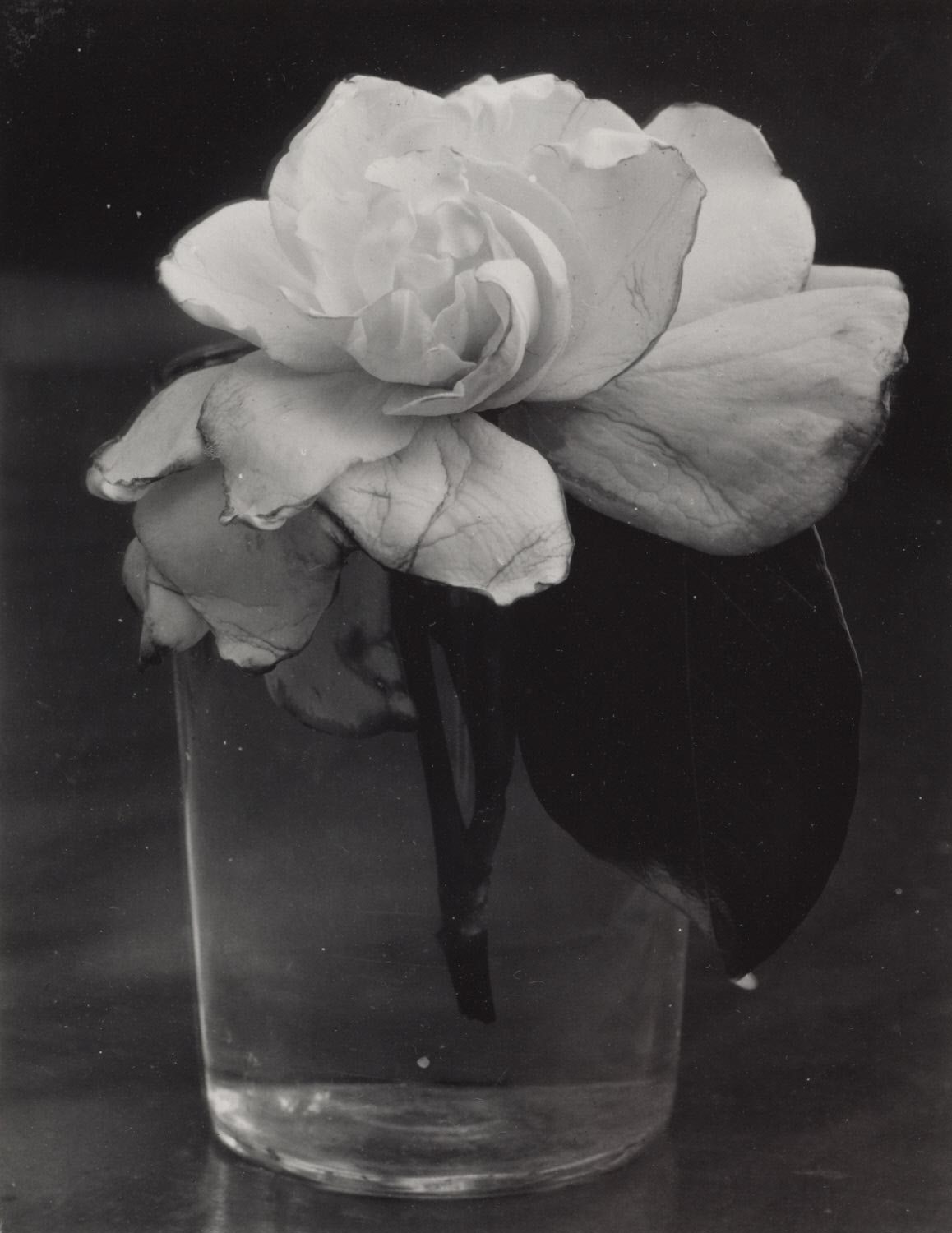 Camellia in Water