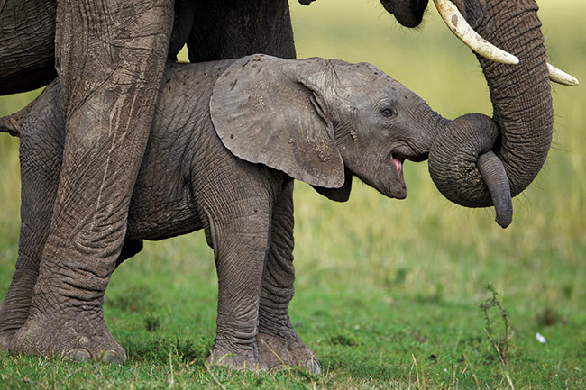Infant African Bush Elephant, Lamai Wedge, Serengeti National Park, Tanzania, 2011